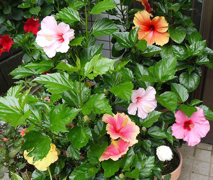 ハイビスカス-エラブの春の花が2個咲いた。2016年-5.jpg