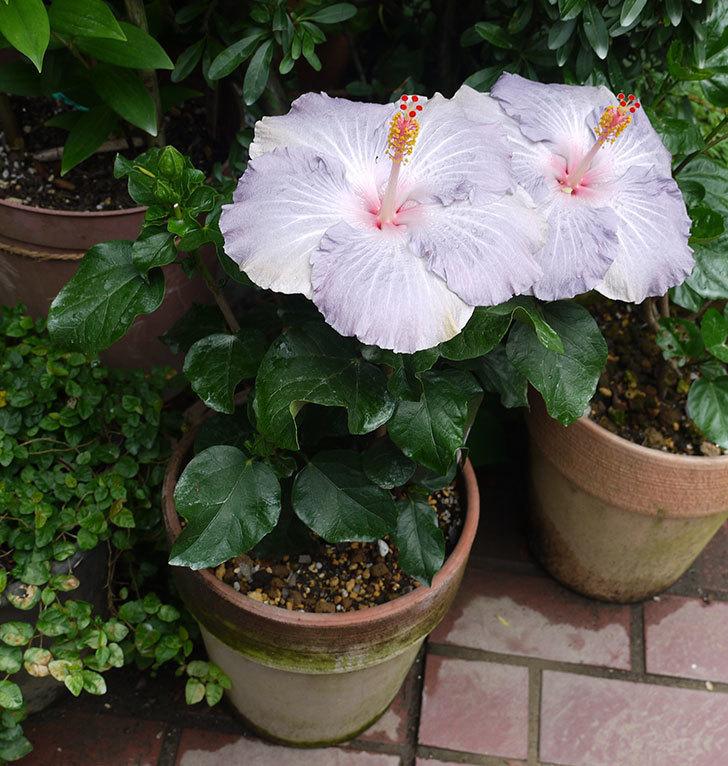 ハイビスカス-サニーの花が2個咲いた。2016年-2.jpg