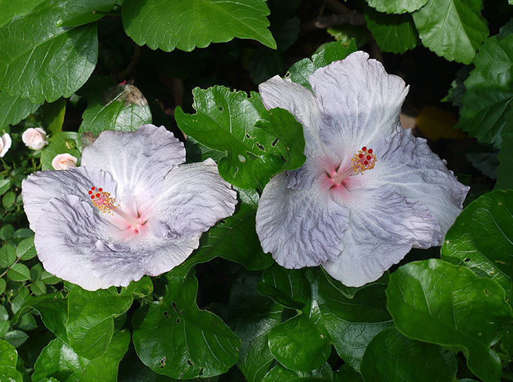 ハイビスカス-サニーの花が2個咲いた。2017年-1.jpg