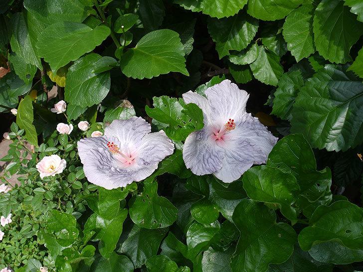 ハイビスカス-サニーの花が2個咲いた。2017年-4.jpg