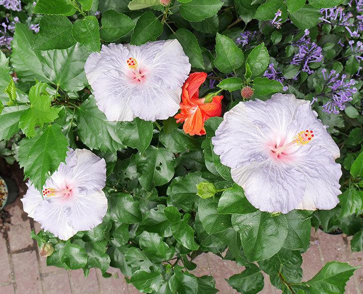 ハイビスカス-サニーの花が3個同時に咲いた。2017年-1.jpg