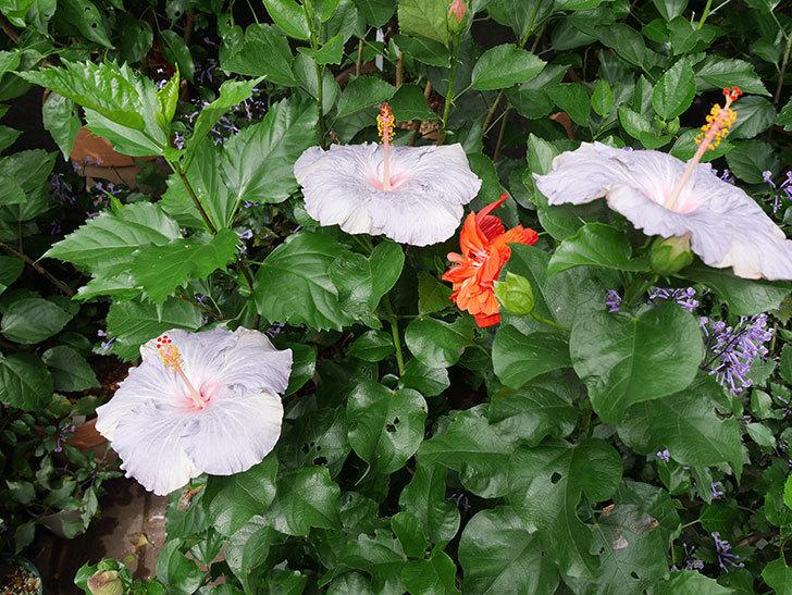 ハイビスカス-サニーの花が3個同時に咲いた。2017年-2.jpg