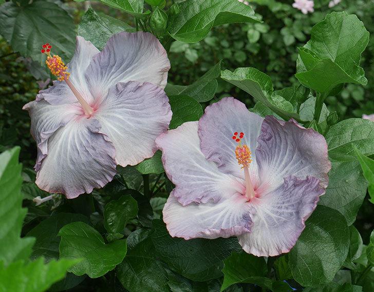 ハイビスカス-サニーの花が3個咲いた。2018年-1.jpg
