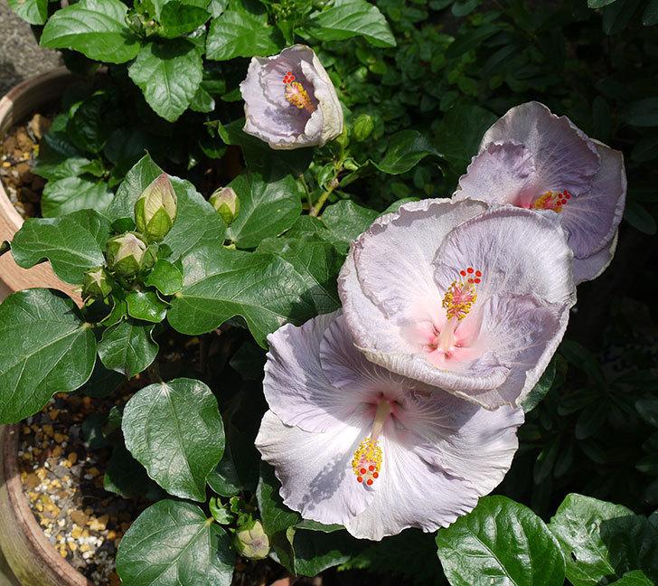 ハイビスカス-サニーの花が4個咲いた。2016年-1.jpg