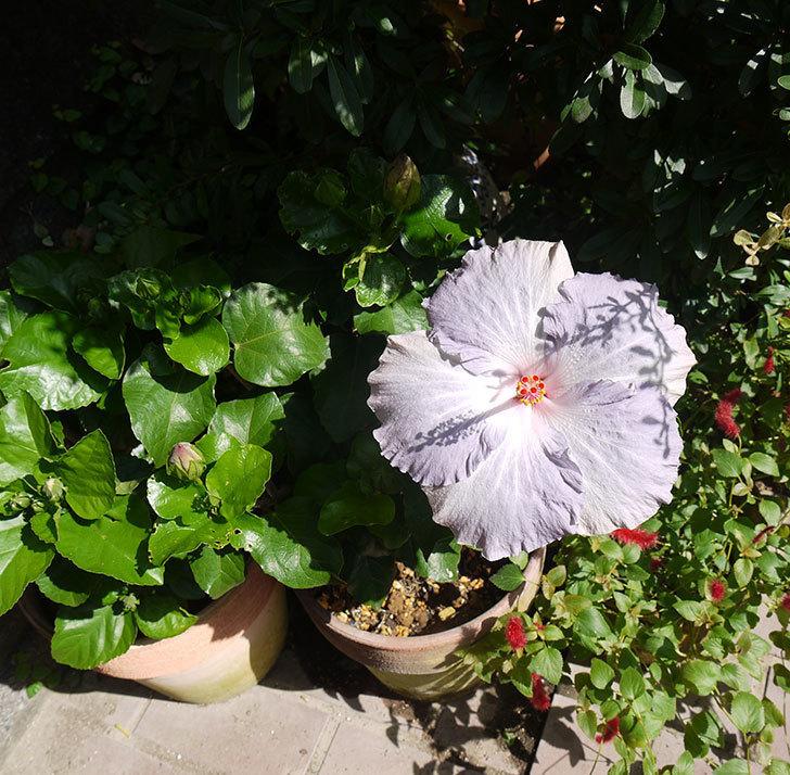 ハイビスカス-サニーの花が久々に咲いた。2016年-3.jpg