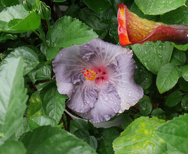 ハイビスカス-サニーの花が咲いた。2018年-1.jpg