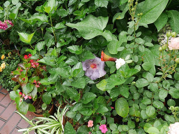 ハイビスカス-サニーの花が咲いた。2018年-3.jpg