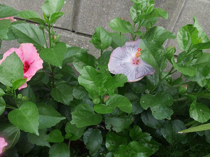 ハイビスカス-サニーの花が咲いた。2019年-4.jpg