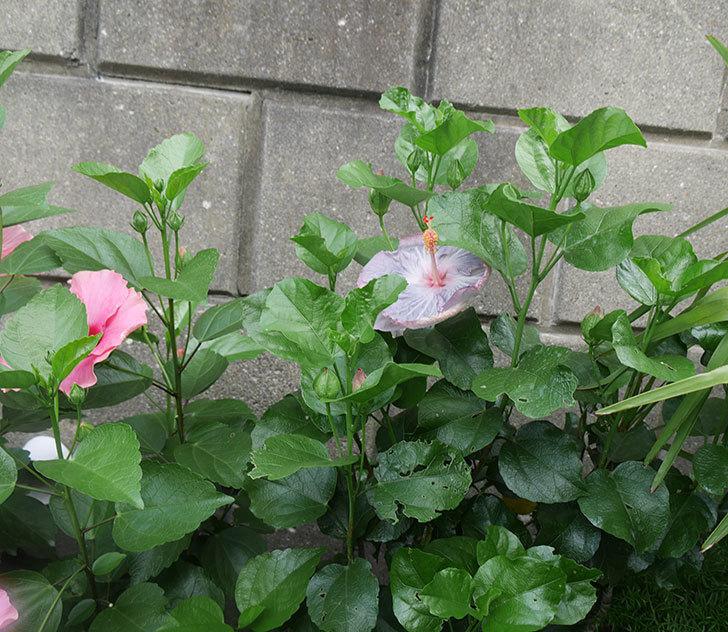 ハイビスカス-サニーの花が咲いた。2019年-5.jpg