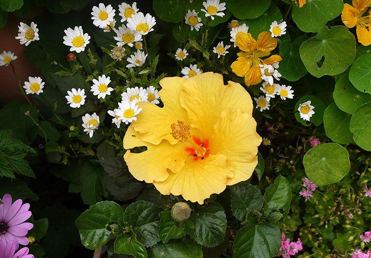ハイビスカス-サマーブリーズ-カシミアウィンドが咲いた。2016年-1.jpg