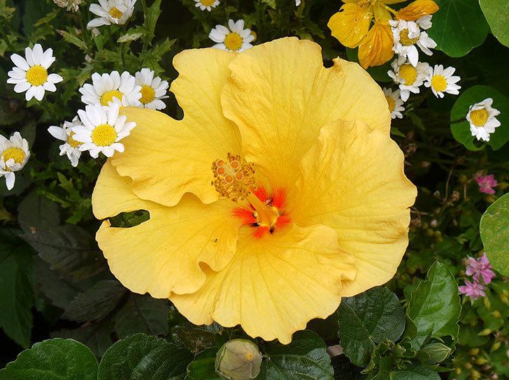 ハイビスカス-サマーブリーズ-カシミアウィンドが咲いた。2016年-2.jpg