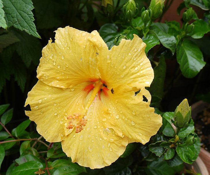 ハイビスカス-サマーブリーズ-カシミアウィンドの2個目の花が咲いた。2016年-2.jpg
