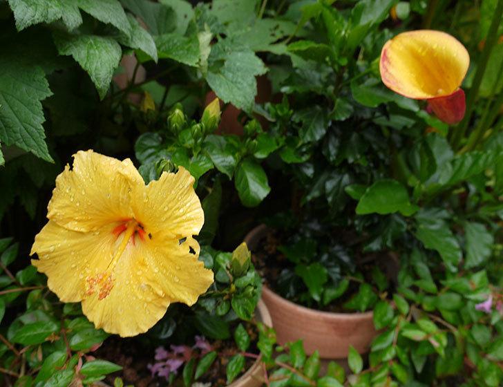ハイビスカス-サマーブリーズ-カシミアウィンドの2個目の花が咲いた。2016年-3.jpg