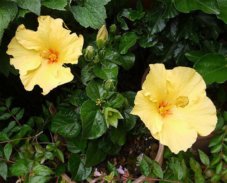 ハイビスカス-サマーブリーズ-カシミアウィンドの花が2個咲いた。2016年-1.jpg