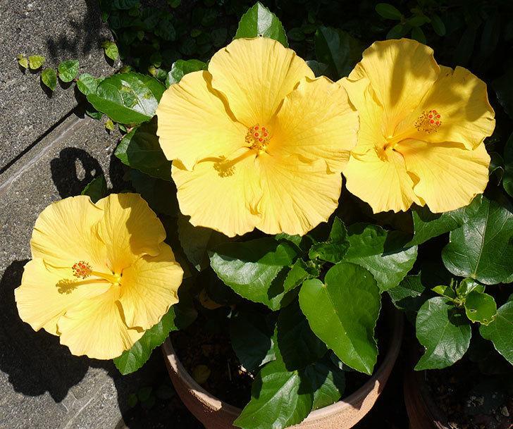 ハイビスカス-サマーブリーズ-カシミアウィンドの花が3個咲いた。2016年-1.jpg