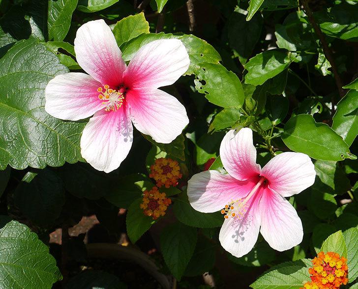 ハイビスカス-サマーブリーズの花が2個咲いた。2016年-1.jpg