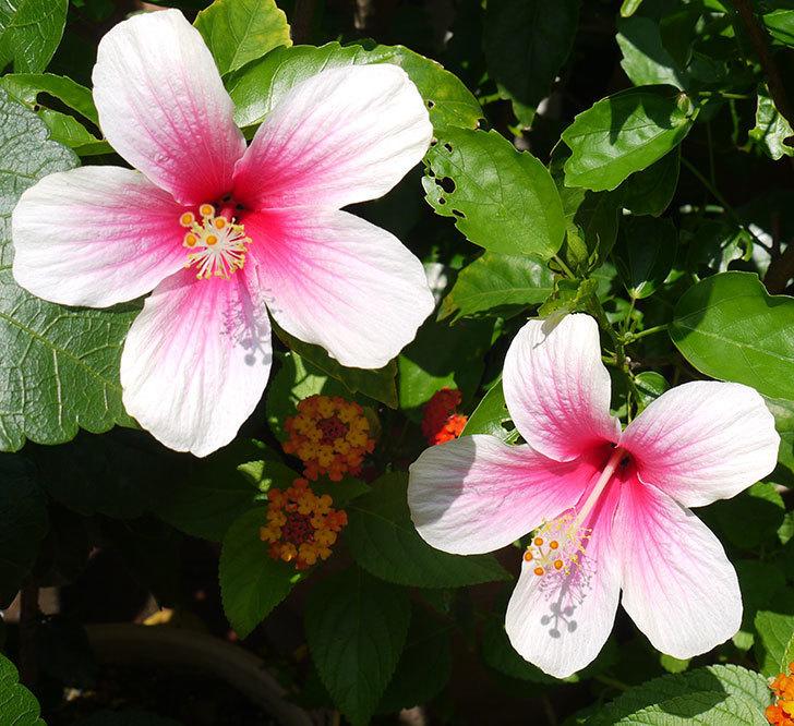 ハイビスカス-サマーブリーズの花が2個咲いた。2016年-2.jpg