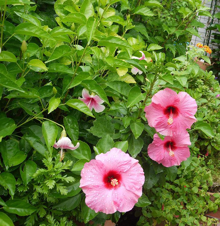 ハイビスカス-サマーブリーズの花が4個咲いた。2016年-5.jpg