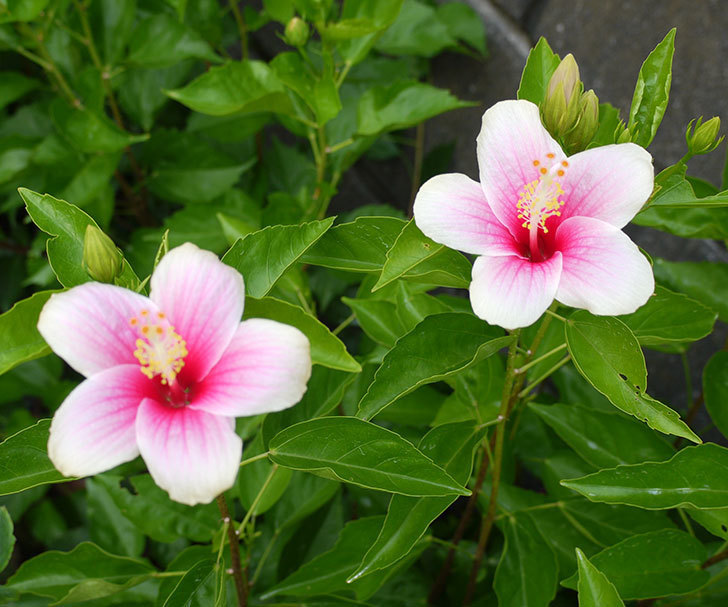 ハイビスカス-サマーブリーズの花がたくさん咲いた。2016年-5.jpg