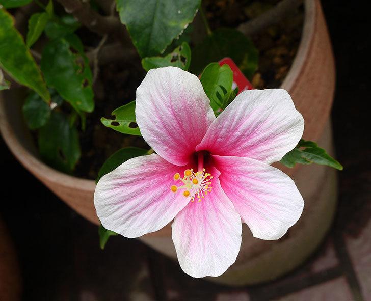 ハイビスカス-サマーブリーズの花が咲いた。2016年-1.jpg