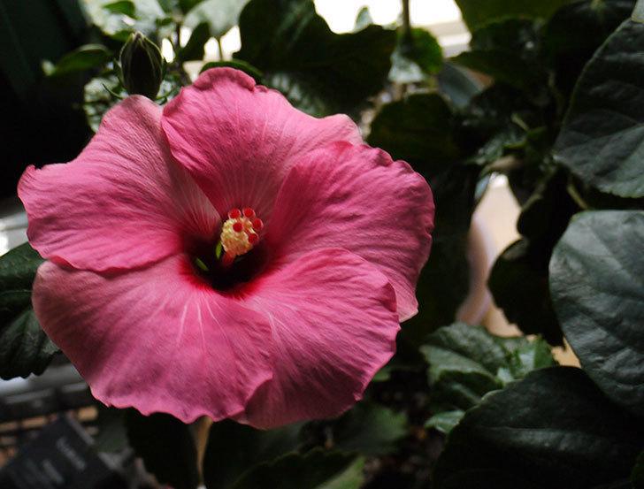 ハイビスカス-ニューロングライフの2個目の花が咲いた。2015年-1.jpg