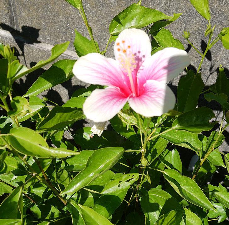 ハイビスカス-ニューロングライフ・シリーズ-アドニスの花が2鉢で3個咲いた。2016年-10.jpg