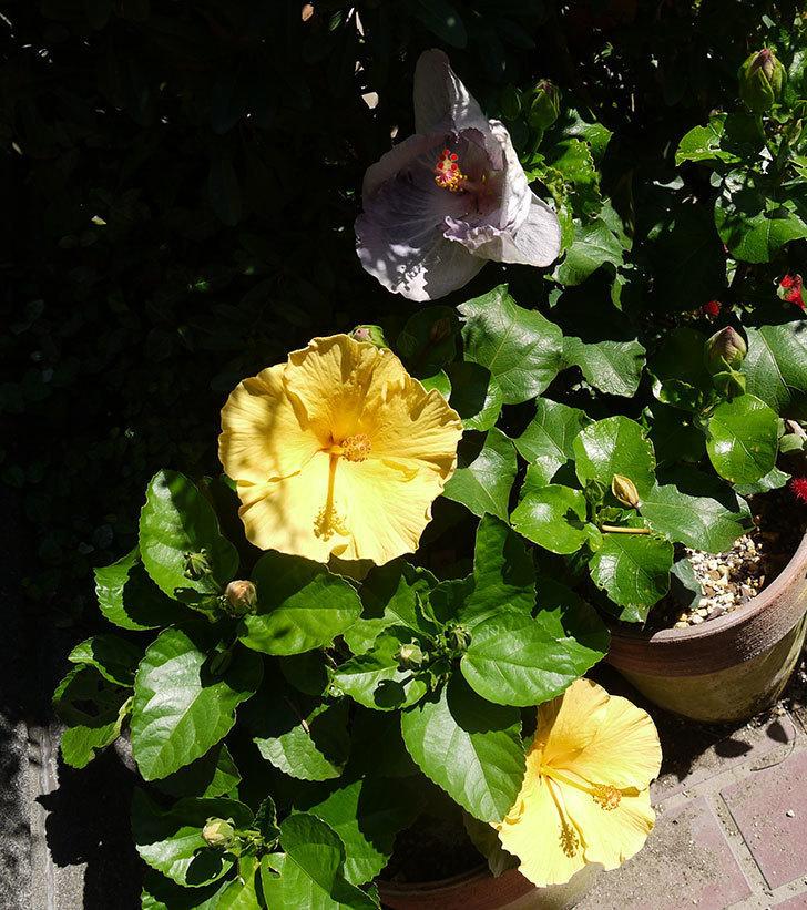 ハイビスカス-ニューロングライフ・シリーズ-アドニスの花が2鉢で3個咲いた。2016年-12.jpg