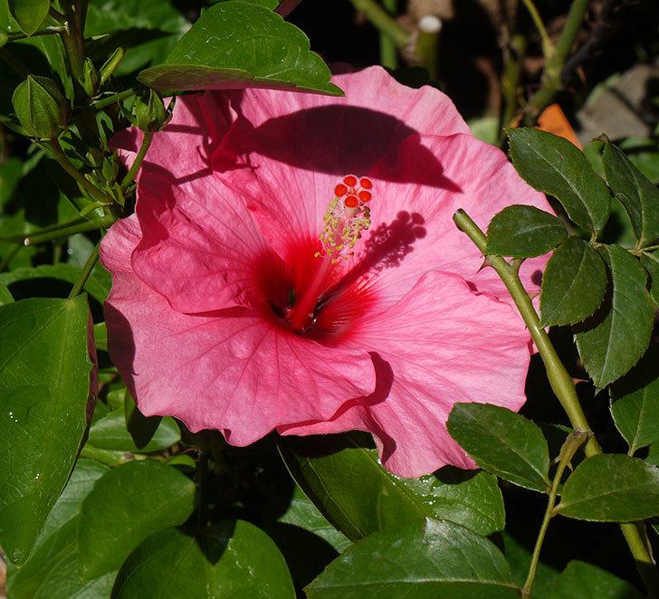 ハイビスカス-ニューロングライフ・シリーズ-アドニスの花が2鉢で3個咲いた。2016年-3.jpg