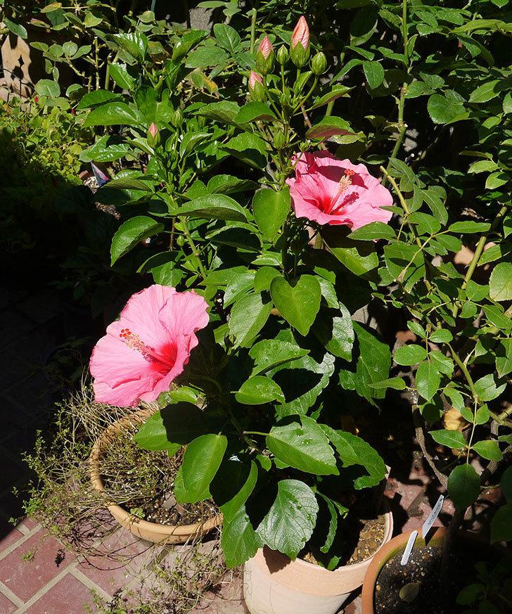 ハイビスカス-ニューロングライフ・シリーズ-アドニスの花が2鉢で3個咲いた。2016年-4.jpg