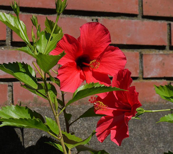 ハイビスカス-ニューロングライフ・シリーズ-アドニスの花が2鉢で3個咲いた。2016年-7.jpg