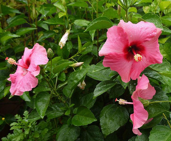 ハイビスカス-ニューロングライフ・シリーズ-アドニスの花が3個一緒に咲いた。2016年-1.jpg