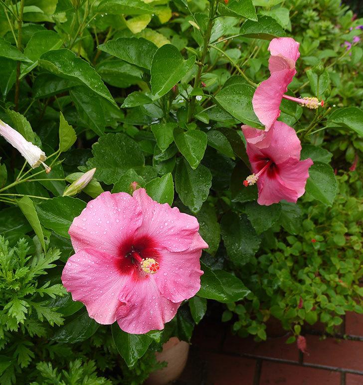 ハイビスカス-ニューロングライフ・シリーズ-アドニスの花が3個一緒に咲いた。2016年-3.jpg