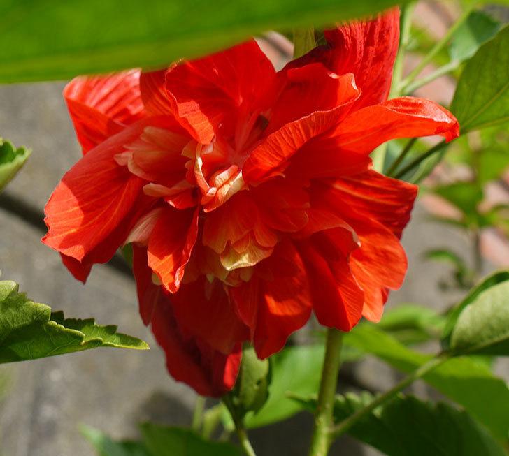 ハイビスカス-マダムペレに朱色っぽい花が咲いた。2016年-1.jpg