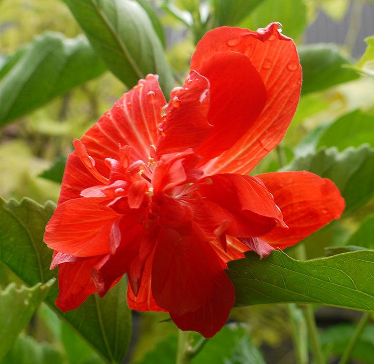 ハイビスカス-マダムペレに赤い花が咲いた。2016年-2.jpg