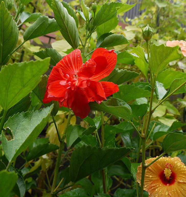 ハイビスカス-マダムペレに赤い花が咲いた。2016年-3.jpg