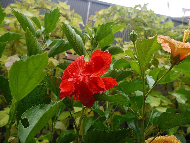 ハイビスカス-マダムペレに赤い花が咲いた。2016年-4.jpg