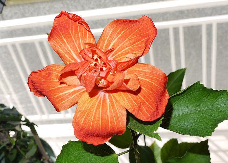 ハイビスカス-マダムペレの3個目の花が咲いた。2015年-1.jpg