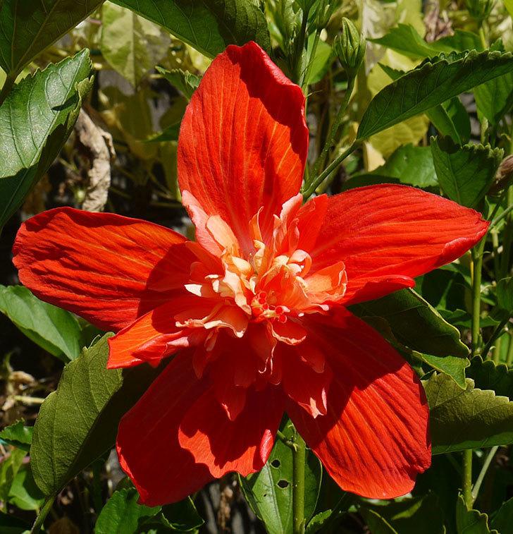 ハイビスカス-マダムペレの花が綺麗に咲いた。2016年-2.jpg