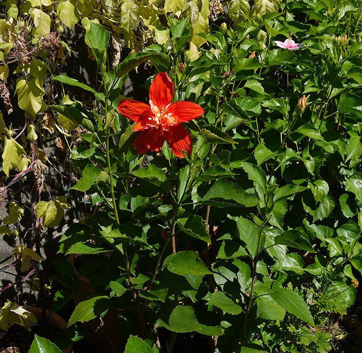 ハイビスカス-マダムペレの花が綺麗に咲いた。2016年-3.jpg