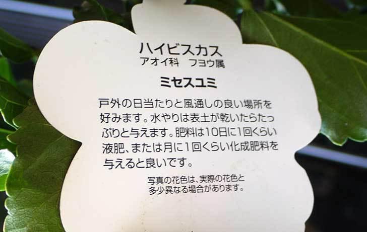 ハイビスカス-ミセスユミがホームズで500円だったので買って来た3.jpg