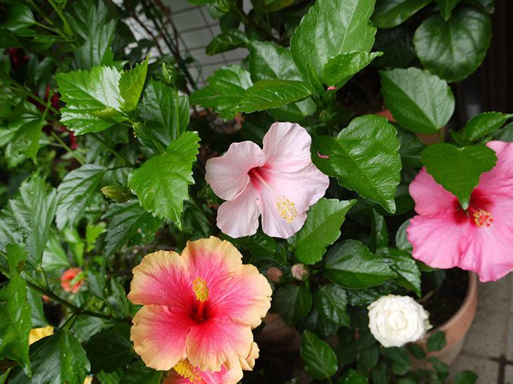 ハイビスカス-ミセスユミの花が2個咲いた。2016年-3.jpg