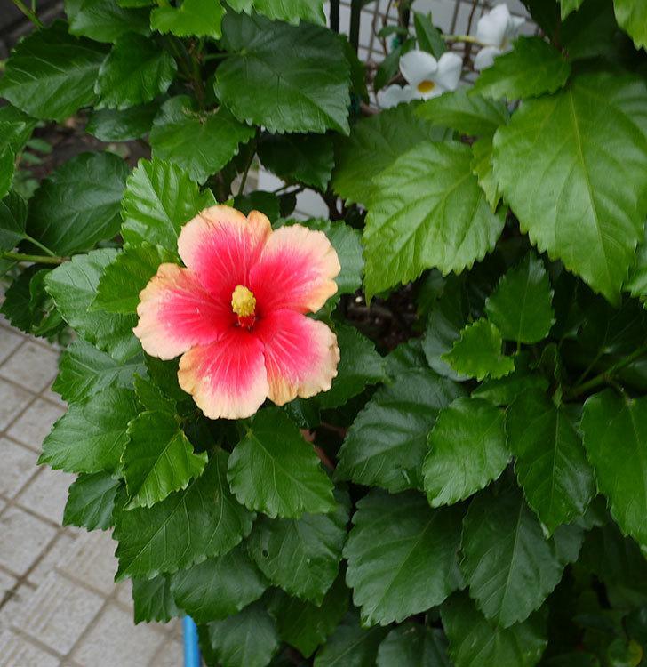 ハイビスカス-ミセスユミの花が久びさに咲いた。2016年-2.jpg