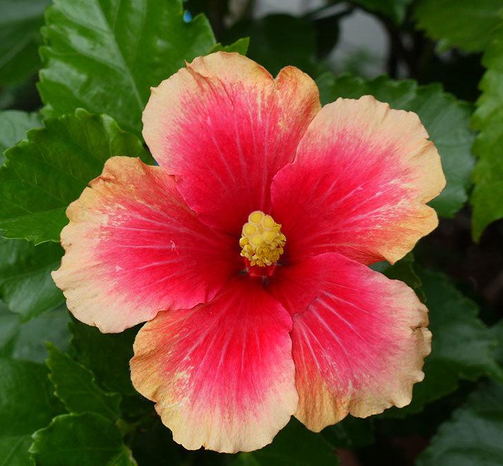 ハイビスカス-ミセスユミの花が久びさに咲いた。2016年-3.jpg