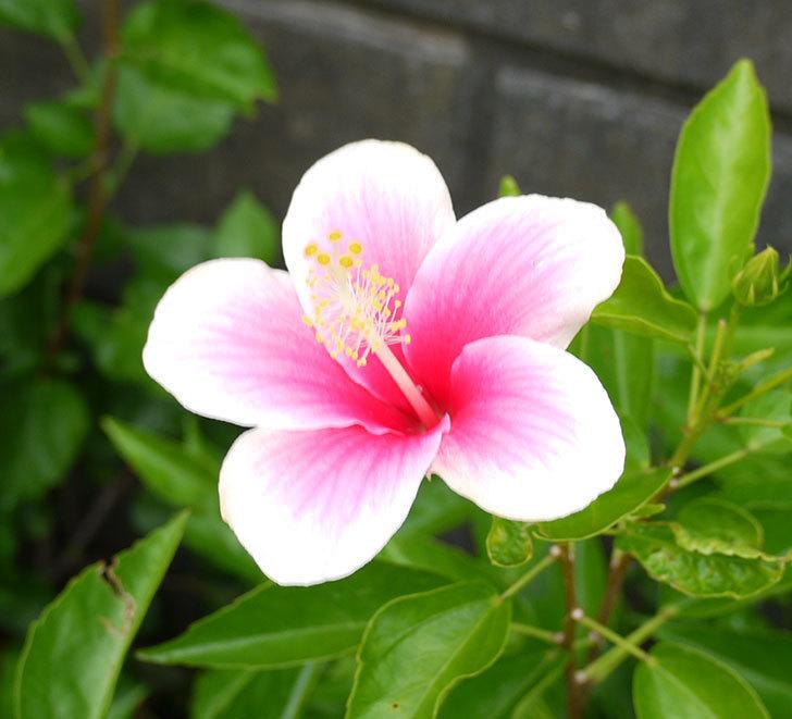 ハイビスカス-ミセスユミの花が久びさに咲いた。2016年-6.jpg