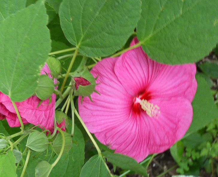 ハイビスカス-ルナシリーズ(アメリカフヨウ)ルナローズの花が3個咲いた。2016年-3.jpg