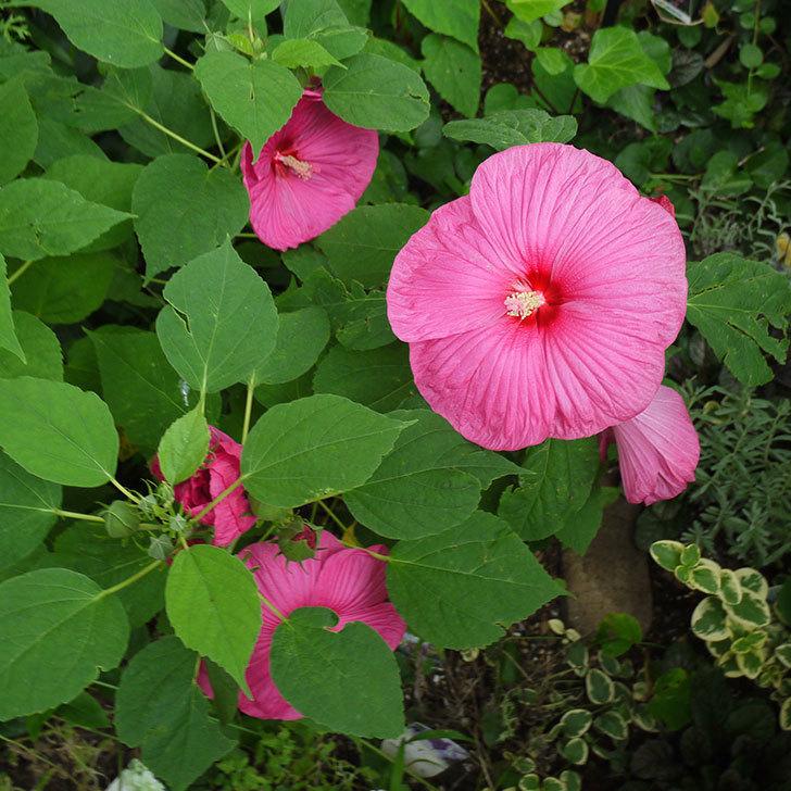 ハイビスカス-ルナシリーズ(アメリカフヨウ)ルナローズの花が3個咲いた。2016年-5.jpg