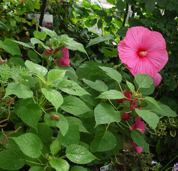 ハイビスカス-ルナシリーズ(アメリカフヨウ)ルナローズの花が3個咲いた。2016年-7.jpg