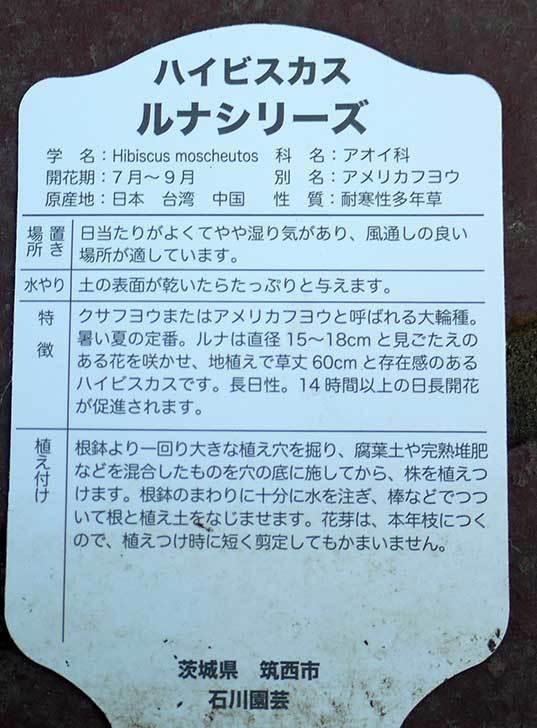 ハイビスカス-ルナシリーズ(アメリカフヨウ)ルナローズ買って来た3.jpg