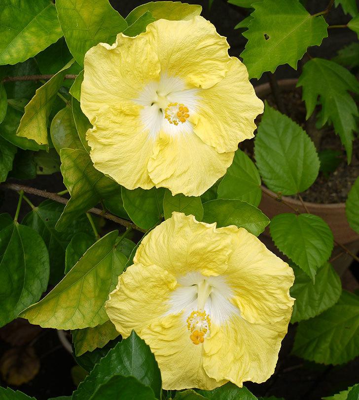 ハイビスカス-レモンイエローが4個咲いた。2016年-2.jpg