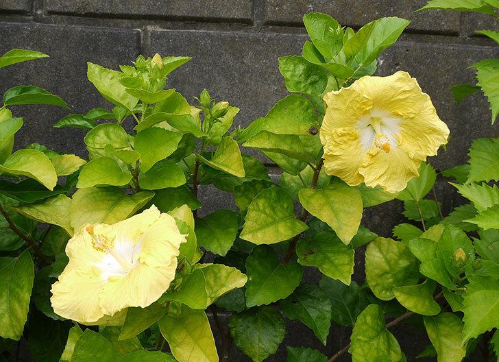 ハイビスカス-レモンイエローが4個咲いた。2016年-4.jpg